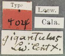 Image of <i>Silvius gigantulus</i> (Loew 1872)
