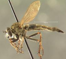 Image of <i>Asilus erythrocnemius</i> Hine