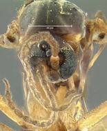 Image of <i>Sciara sciophila</i> Loew 1870