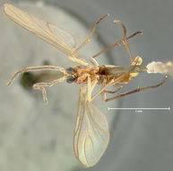 Image of <i>Sciara ochrolabis</i> Loew 1870