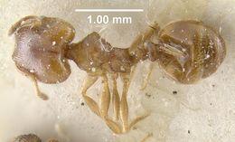 Image of <i>Pheidole bicarinata</i> Mayr 1870