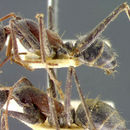 Image of <i>Camponotus denticulatus</i> Kirby 1896