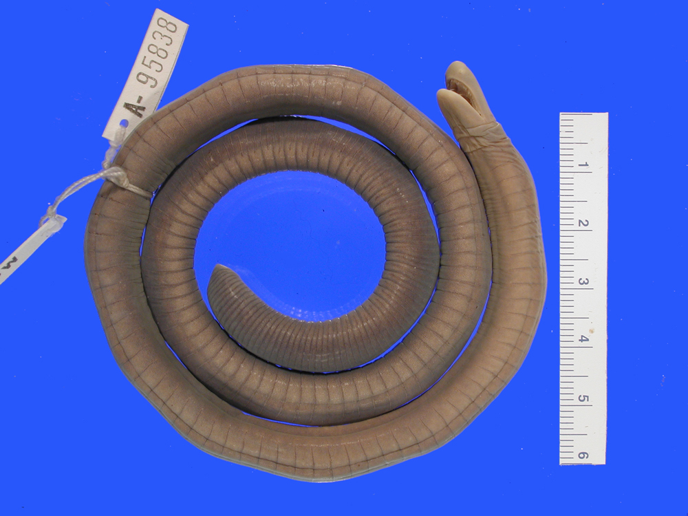 269.mcza95838 caecila nigricans jpg