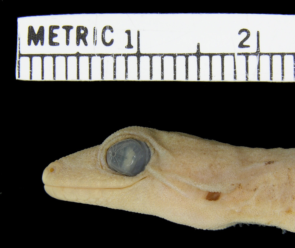Image of Mountain Scaly-toed Gecko