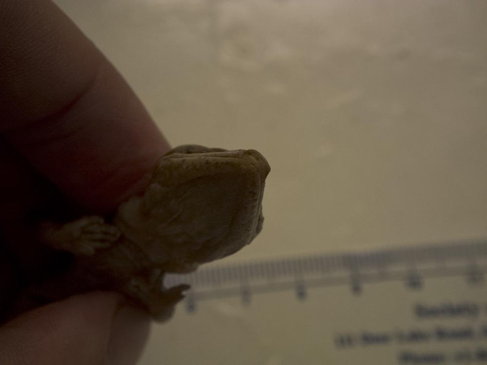 Image of Cat Gecko