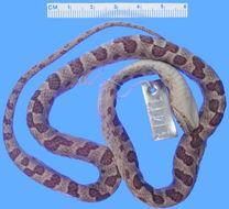 Image of Splendid Cat-eyed Snake