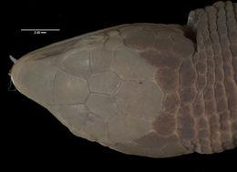 Image of <i>Proctoporus bolivianus</i> Werner 1910