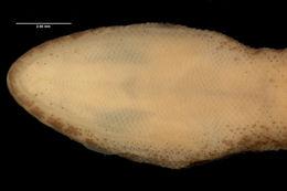 Image of <i>Tropiocolotes tripolitanus apoklomax</i> Papenfuss 1969