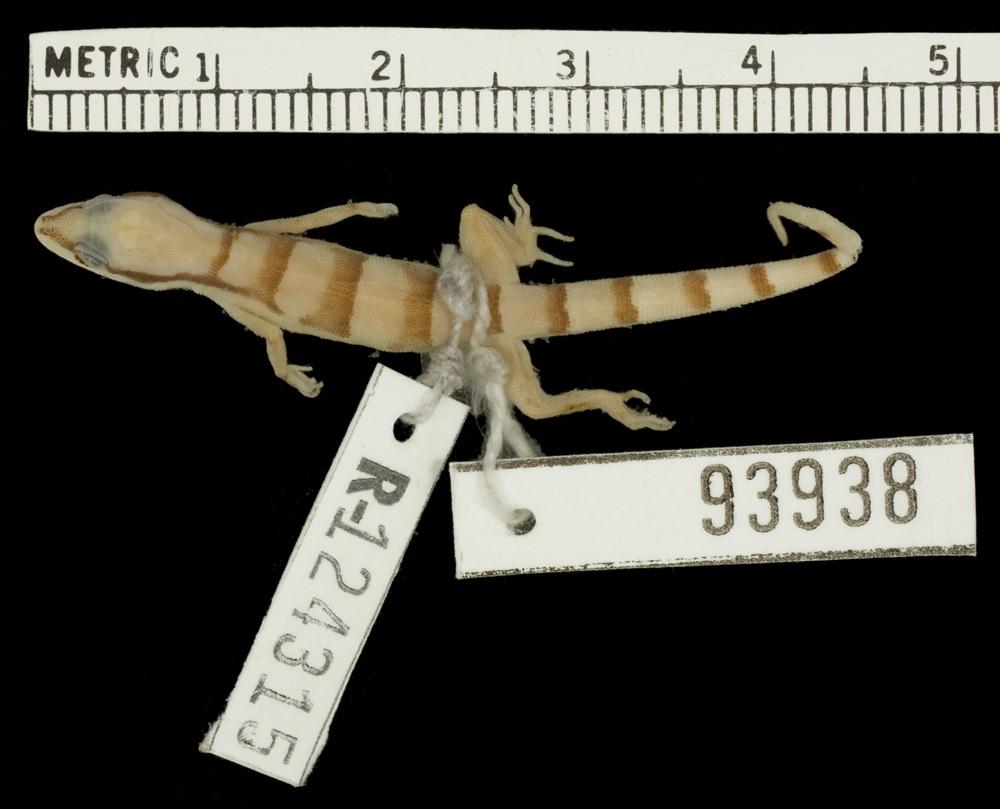 Image of <i>Tropiocolotes persicus</i> ssp. <i>euphorbiacola</i>