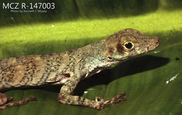 Image of Chocoan Banded Anole