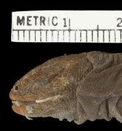Image of <i>Phymaturus palluma</i> ssp. <i>patagonicus</i>