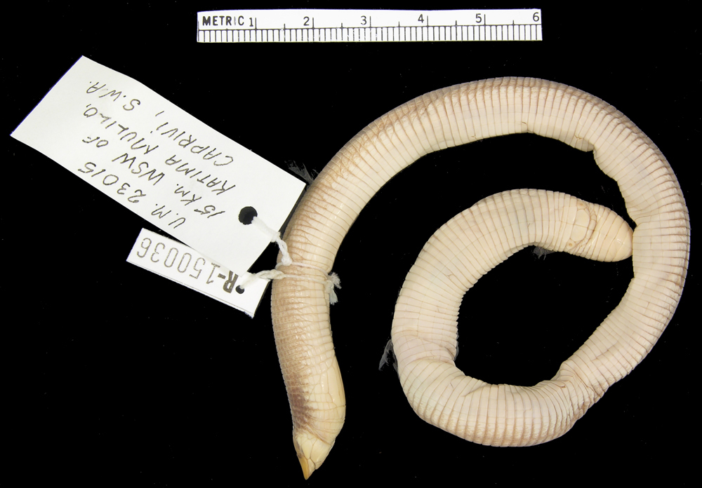 Image of Angolan spade-snouted worm lizard