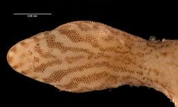 Image of <i>Lepidoblepharis miyatai</i> Lamar 1985