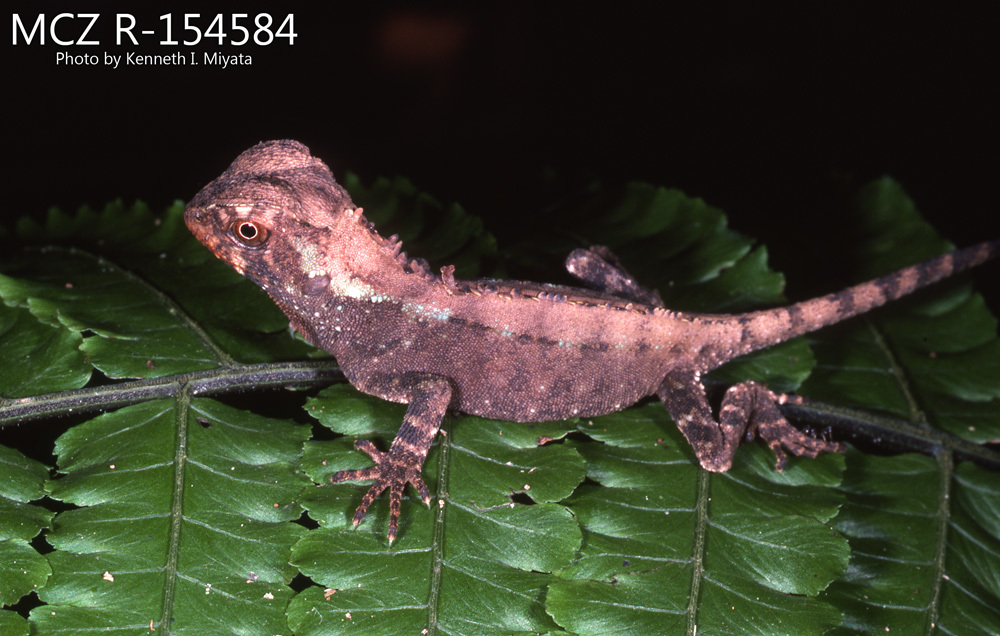 Image of Small-scaled Woodlizard