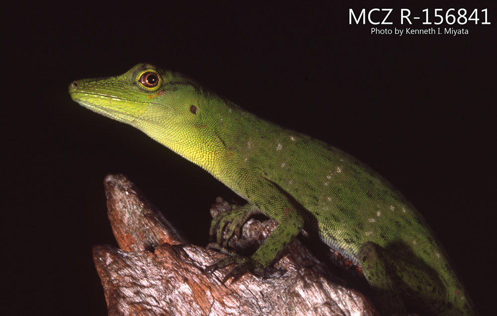 Image of Amazon Green Anole