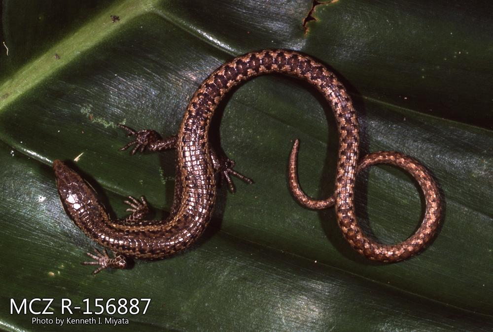 Image of Rhombifer Anadia