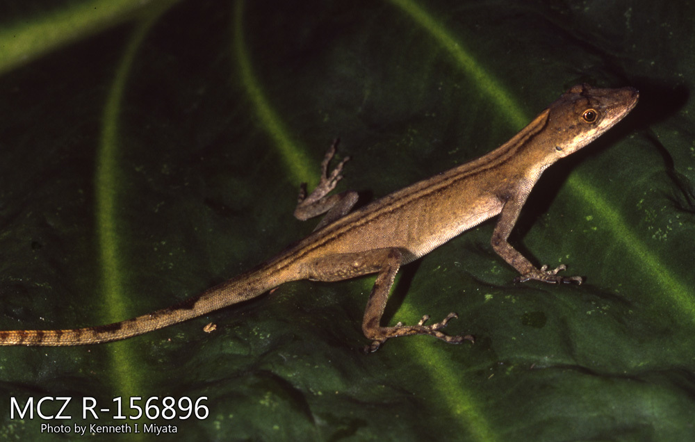 Image of Brown-eared anole