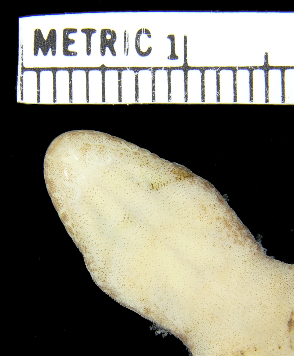 Image of Northern Spotted Rock Dtella