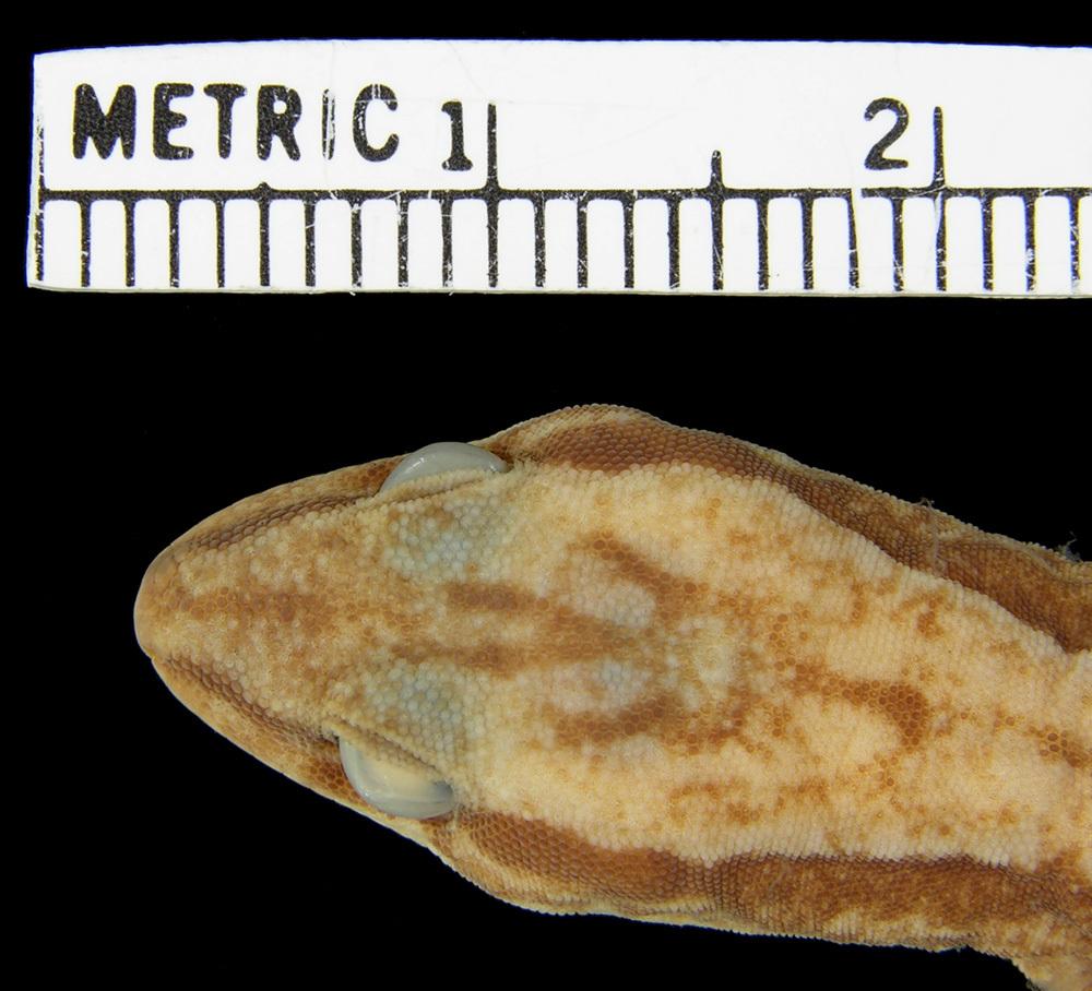 Image of <i>Oedura reticulata</i>