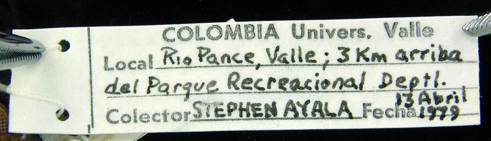 Image of <i>Lepidoblepharis duolepis</i> Ayala & Castro 1983