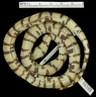 Image of Ruthvens Kingsnake