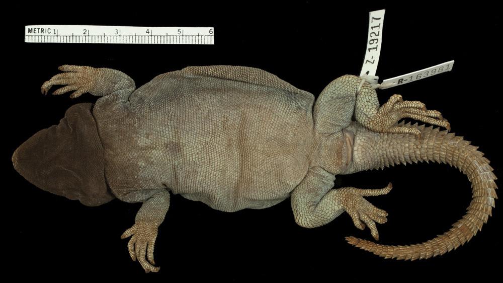 Image of Cei's Mountain Lizard