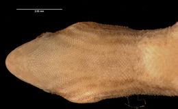 Image of <i>Lepidoblepharis montecandensis</i>