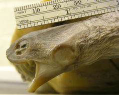 Image of Roti Island Snake-necked Turtle