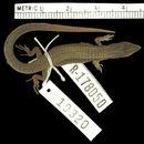 Image of <i>Macropholidus ataktolepis</i> Cadle & Chuna 1995