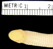 Image of <i>Monopeltis decosteri</i> Boulenger 1910