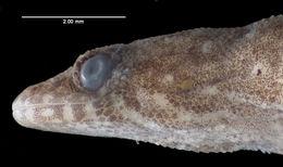 Image of Dwarf gecko