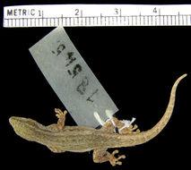 Image of <i>Lygodactylus capensis</i> ssp. <i>grotei</i> Sternfeld 1911