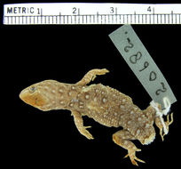 Image of <i>Gymnodactylus amarali</i> Barbour 1925