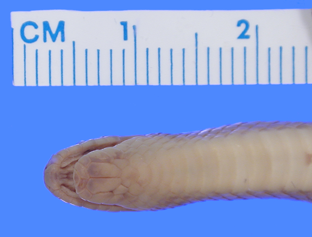 Image of Bignose Ground Snake