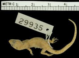Image of Banded Lizard-fingered Gecko