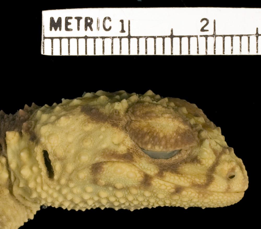 Image of <i>Nephrurus <i>wheeleri</i></i> wheeleri Loveridge 1932