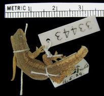 Image of Bradfield's Dwarf Gecko