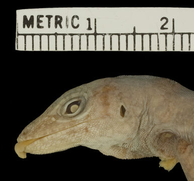 Image of Cook's Anole