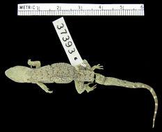 Image of <i>Gymnodactylus <i>geckoides</i></i> ssp. geckoides