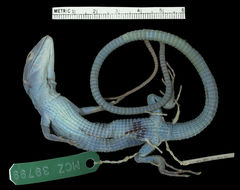Image of Green keel-bellied lizard