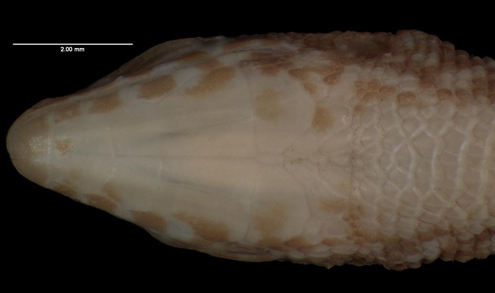 Image of <i>Leposoma percarinatum</i>