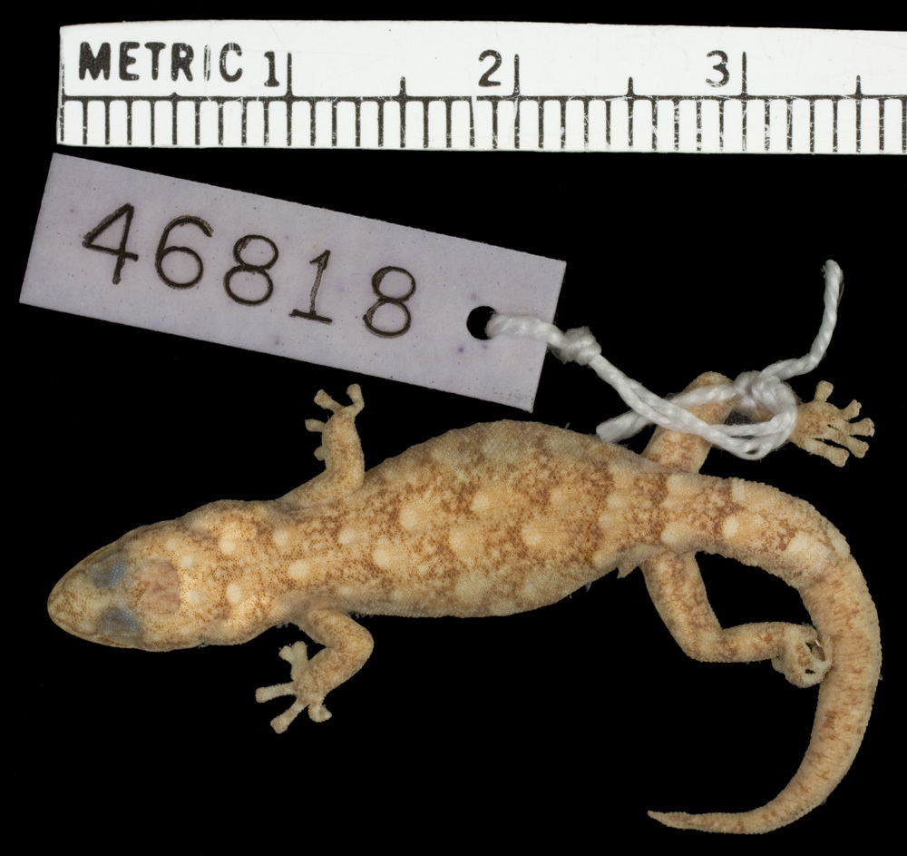 269.r46818 p lineatus rupicolus p d jpg