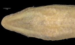 Image of <i>Amphiglossus alluaudi</i> (Brygoo 1981)
