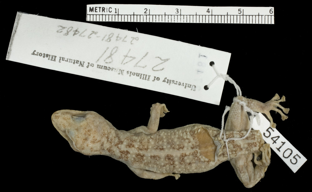 269.r54105 p homolepidurus homolepidurus p d jpg