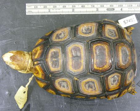 Image of <i>Kinixys belliana</i> ssp. <i>mertensi</i>