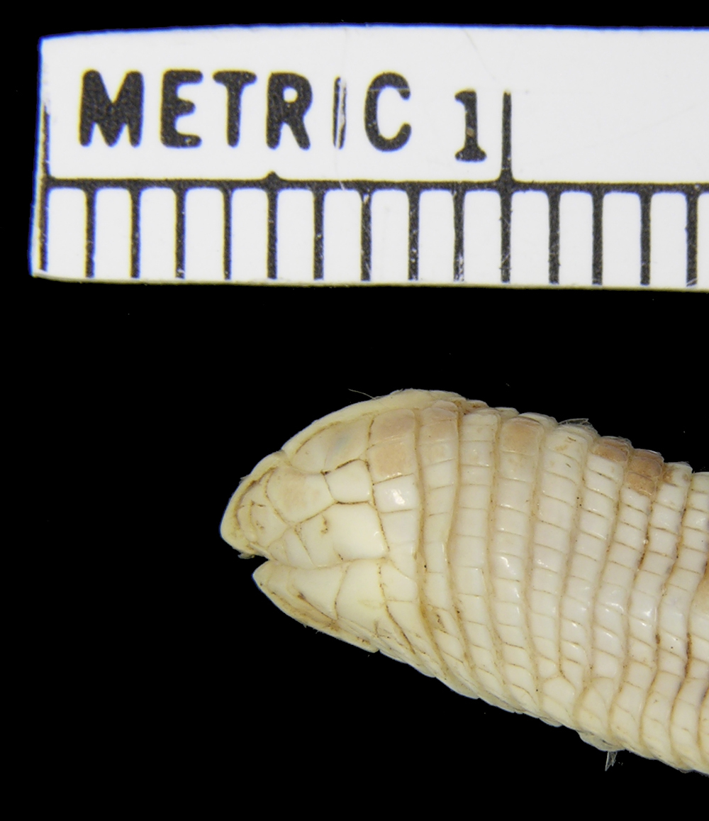 Image of Angled Worm Lizard