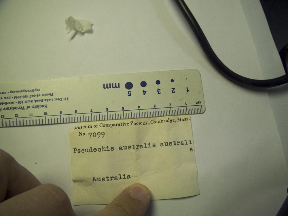 269.r7099 p australis skel 01 jpg