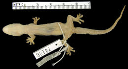 Image of Narrow-tailed Four-clawed Gecko