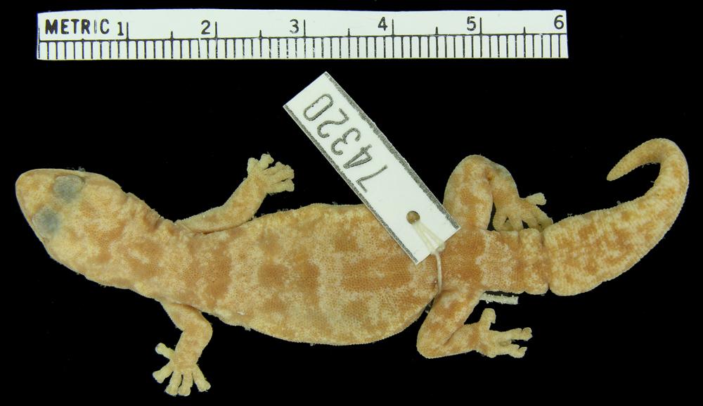 Image of <i>Afroedura transvaalica</i> ssp. <i>loveridgei</i>
