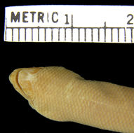 Image of Seram  Blind Skink